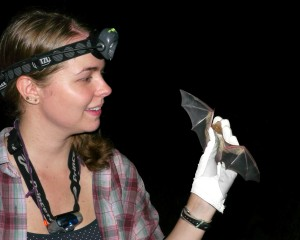 Holding an Eastern Red Bat (Lasiurus borealis) caught in a mist net in central Texas